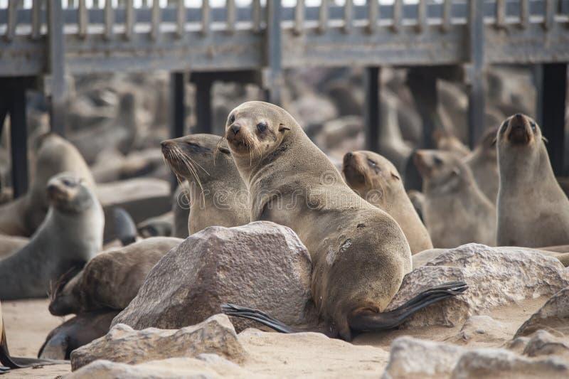 Afrykańskie foki zdjęcia royalty free