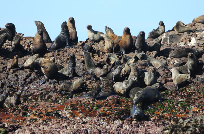 Afrykańskie Futerkowe foki zdjęcia stock