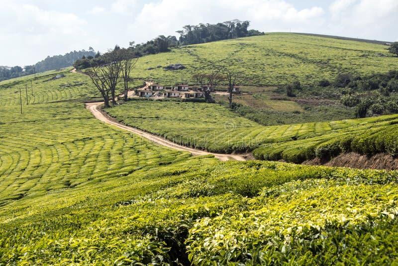 Afrykańskie herbaciane plantacje zdjęcie royalty free
