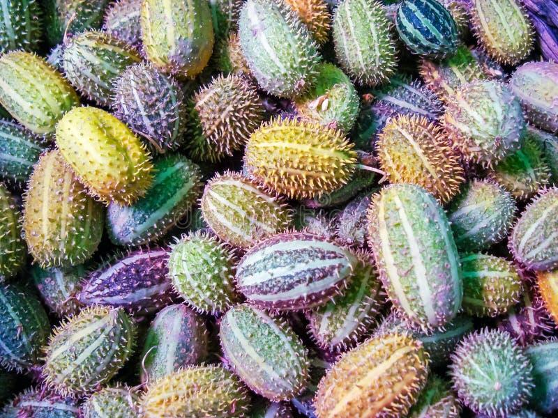 Afrykańskiego dzikiego ogórkowego Cucumis africanus tropikalna roślina obrazy stock