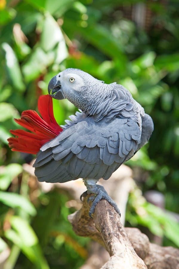 afrykańskiego grey papuga zdjęcia stock