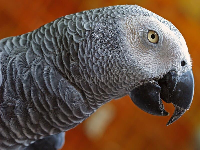 afrykańskiego grey papuga obrazy royalty free