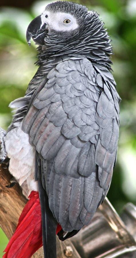 afrykańskiego grey papuga kostrzewiąca zdjęcie stock