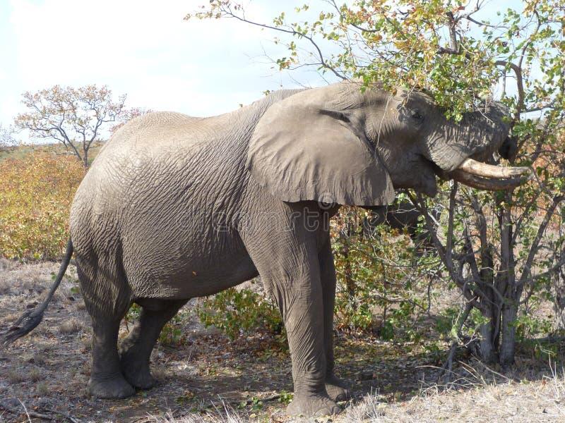 Afrykańskiego słonia Loxodonta africana fotografia stock