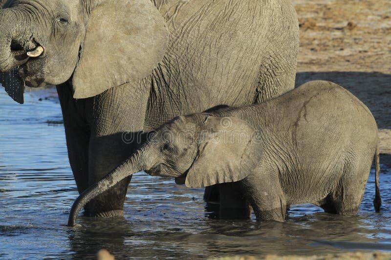 Afrykańskiego słonia matka i łydkowy pić obrazy stock
