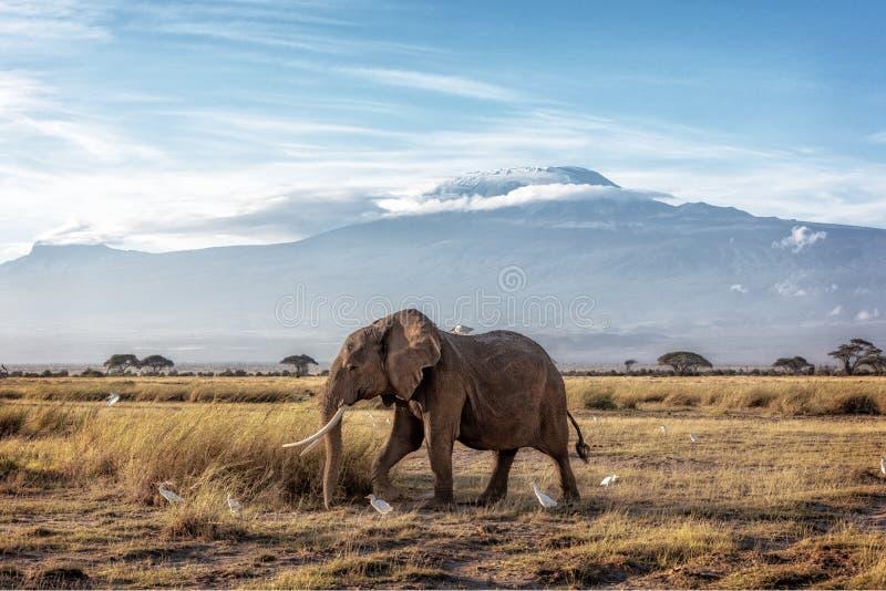 Afrykańskiego słonia odprowadzenie Za górą Kilimanjaro obraz royalty free
