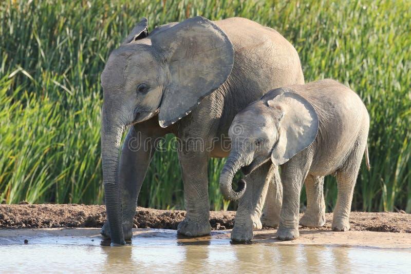 Afrykańskiego słonia rodzeństwa zdjęcia royalty free