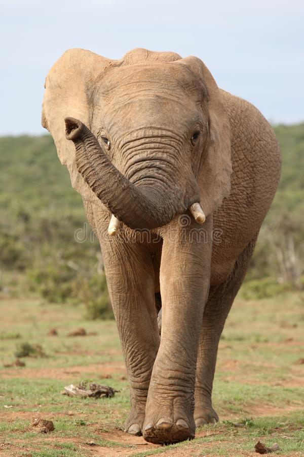 afrykańskiego słonia ruch zdjęcia royalty free
