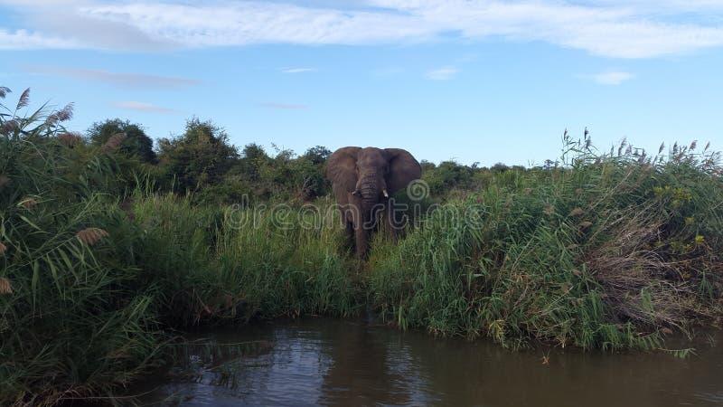 Afrykańskiego słonia woda pitna przy Olifants rzeki safari zdjęcia royalty free