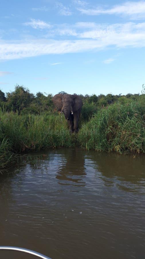 Afrykańskiego słonia woda pitna przy Olifants rzeki safari obrazy royalty free