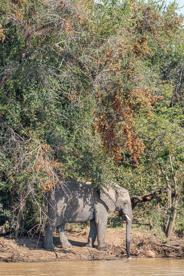 Afrykańskiego słonia woda pitna przy soból tamą obraz royalty free