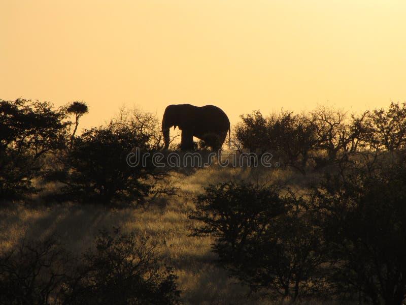 afrykańskiego słonia zmierzch fotografia royalty free