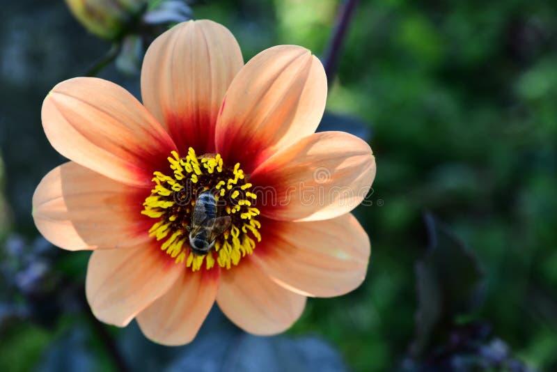 Afrykańskiej stokrotki pszczoła i kwiat obraz royalty free