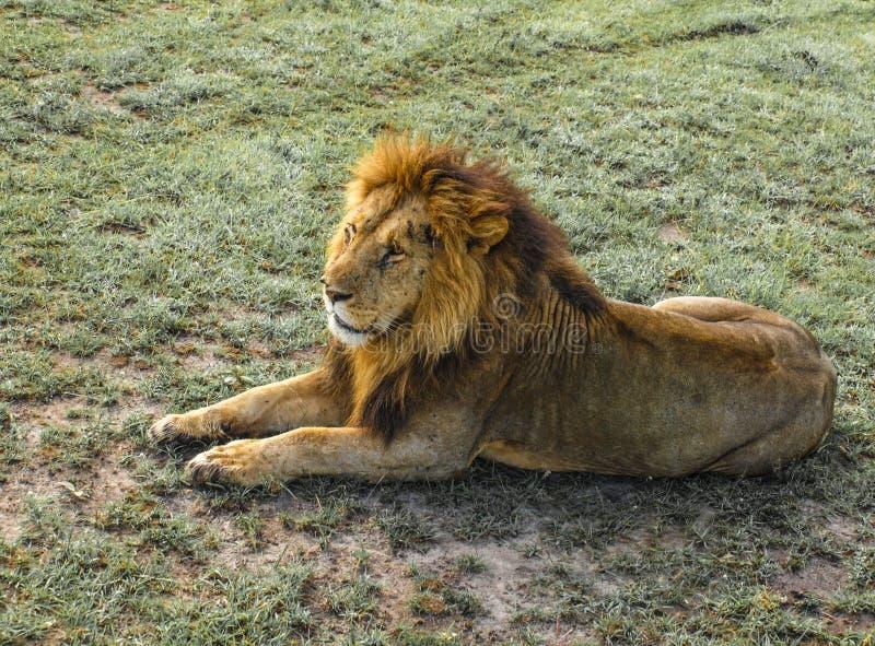 Afryka, Kenja, Masai Mara, lew w repose, samotny, catlike, wysyłać, dziki, sawanna zdjęcia stock