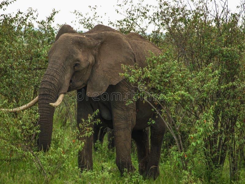 Afryka, Kenja, Masai Mara, pustkowie, wielki byka słoń z dużymi kłami wyłania się od krzaka zdjęcie stock