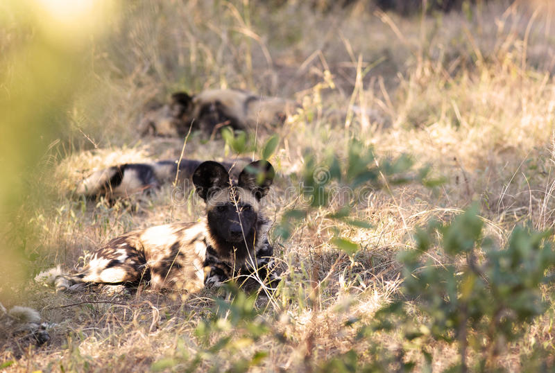 Afrykańscy Dzicy Psy Zdjęcia Royalty Free
