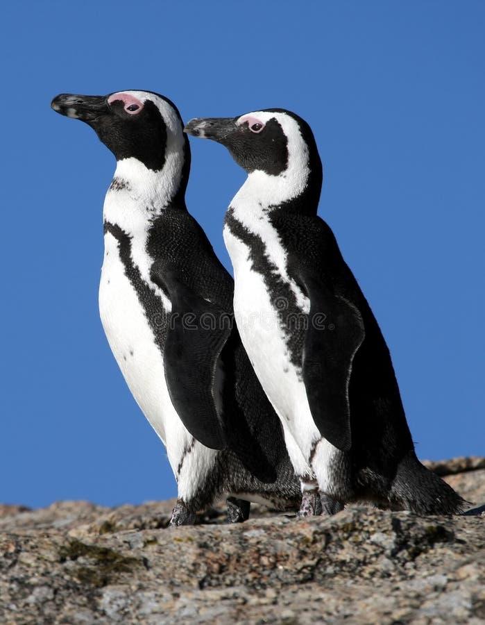 Afrykańscy Pingwiny Zdjęcia Royalty Free