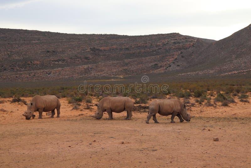 Afryka?scy rhinos zdjęcie royalty free