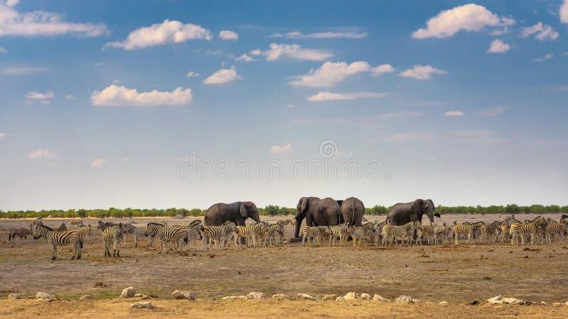 Afryka?scy s?onie i zebry przy waterhole w Etosha parku narodowym, Namibia obrazy royalty free