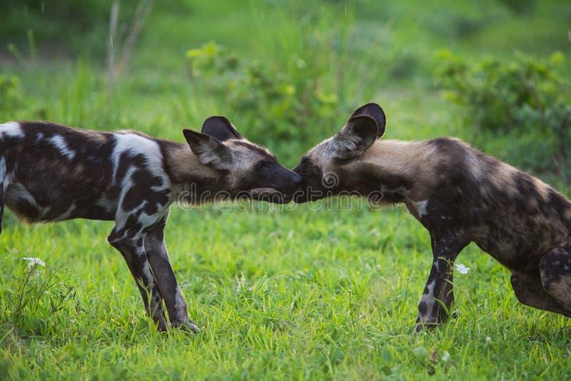 Download Afrykański Dziki pies obraz stock. Obraz złożonej z kenja - 28609239