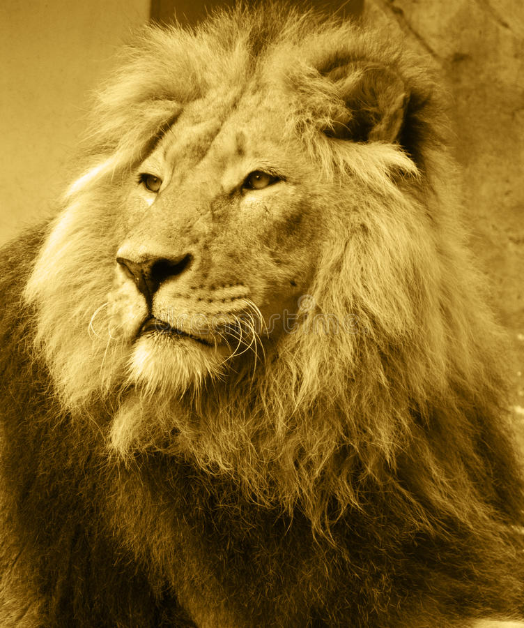Download Afrykański lew obraz stock. Obraz złożonej z zwierzę - 14841339