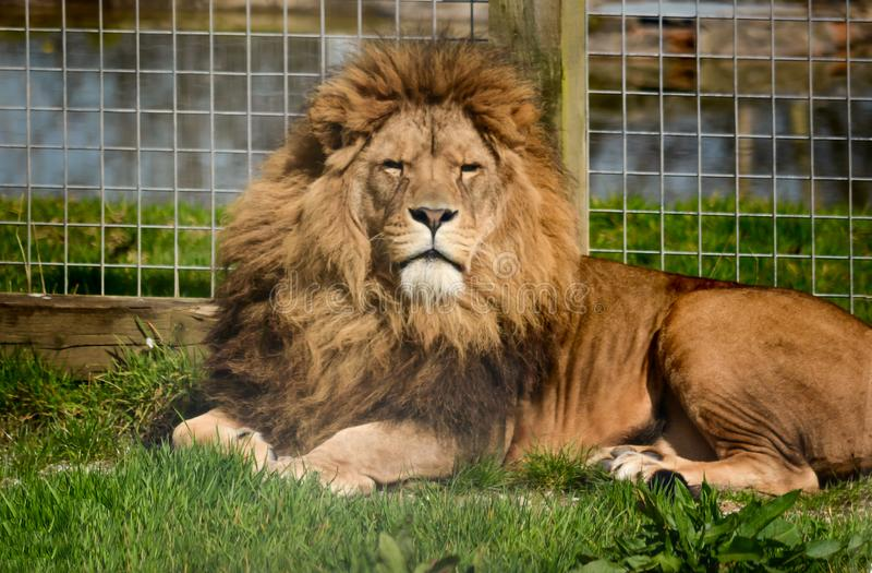Afryka?ski lwa odpoczywa? fotografia royalty free