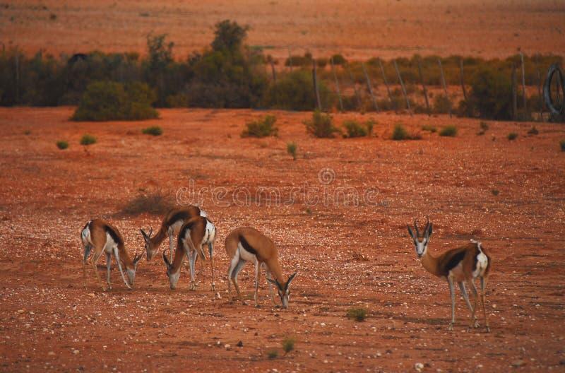 Afryka wiosny Bock karmienie w Czerwonej pustyni w Południowa Afryka obrazy stock