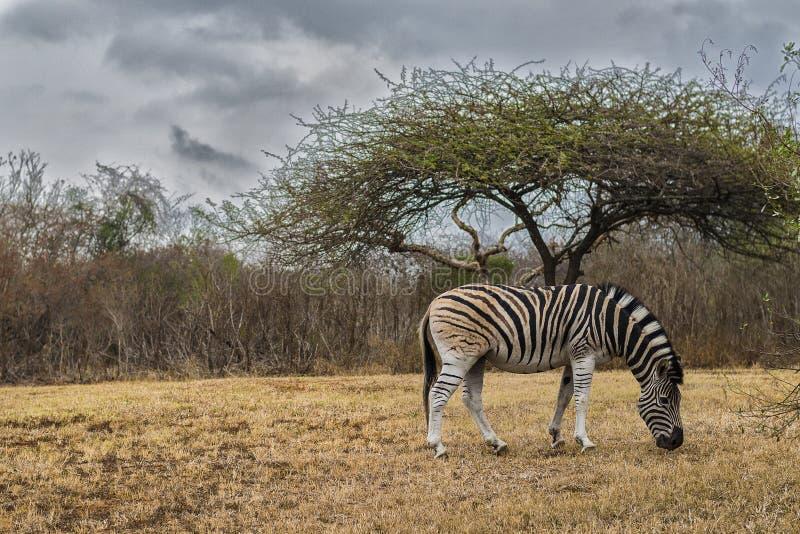 Afryka - zebra zdjęcie stock