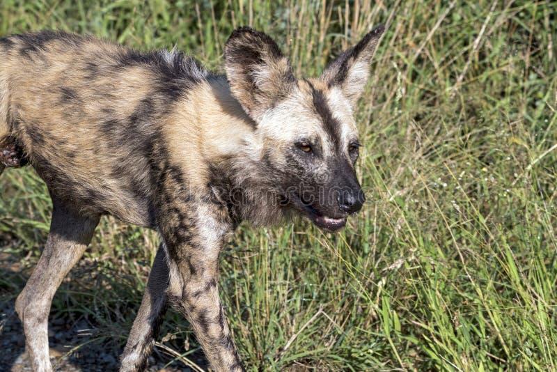 Afrykanin Malujący dziki pies przy Hluhluwe-Imfolozi przyrody parkiem fotografia stock