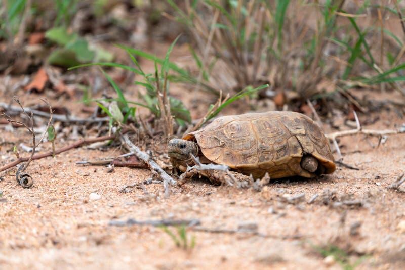 Afrykanin Pobudzający Tortoise &-x28; Centrochelys sulcata&-x29; z brakującą tylni nogą fotografia royalty free