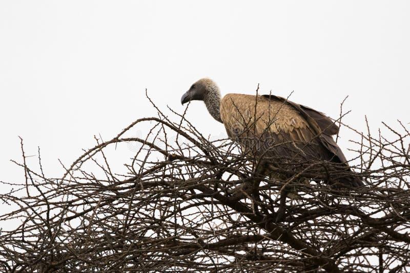 Afrykanin Popierający sępa ptasi obsiadanie na wysuszonej gałąź przy Serengeti parkiem narodowym w Tanzania, Afryka obraz stock