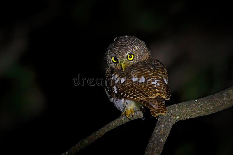 Afrykanin zakazywał owlet, Glaucidium capense, ptak w natury siedlisku w Botswana Sowa w nocy lasowym Zwierzęcym obsiadaniu na dr obraz stock