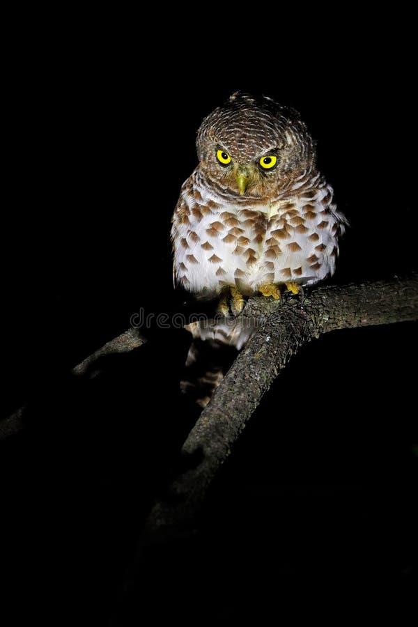 Afrykanin zakazywał owlet, Glaucidium capense, ptak w natury siedlisku w Botswana Sowa w nocy lasowym Zwierzęcym obsiadaniu na dr fotografia royalty free