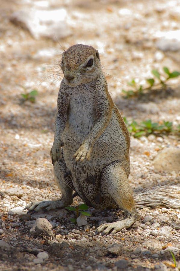 Afrykanin zmielona wiewiórka w Etosha parku narodowym fotografia stock