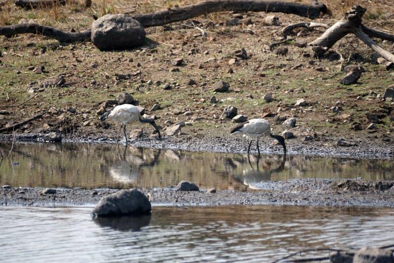 Afrykanina święty ibis w stawie fotografia stock