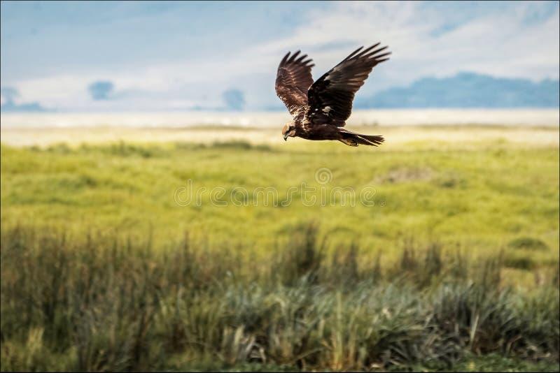 Afrykanina Eagle polowanie zdjęcie stock