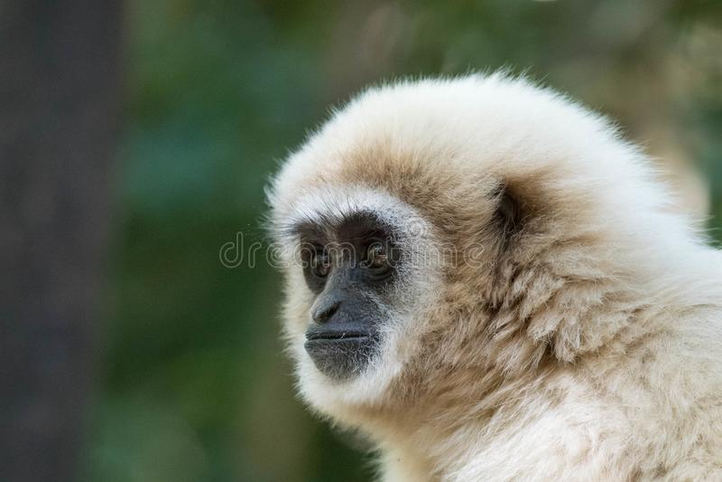 Afrykanina Gibbon profil obrazy stock