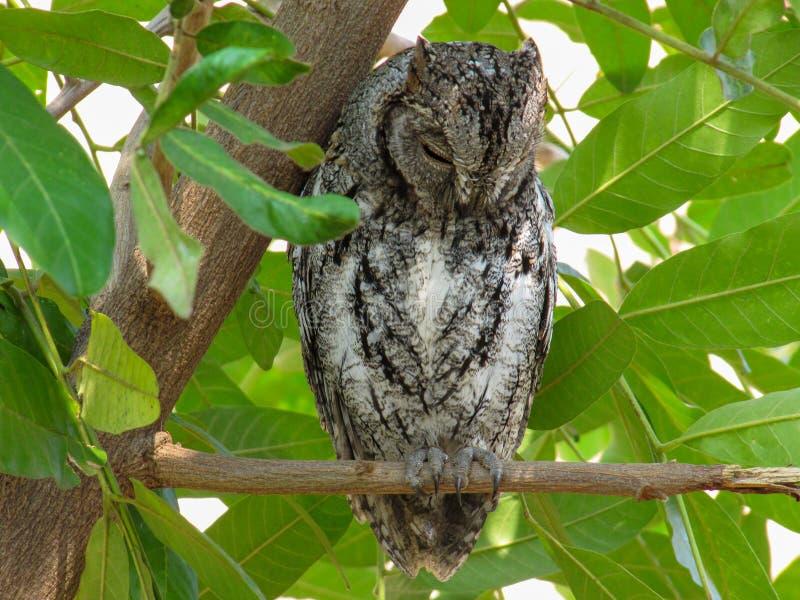 Afrykanina Scops sowa &-x28; Otus senegalensis&-x29; w Kruger parku fotografia stock