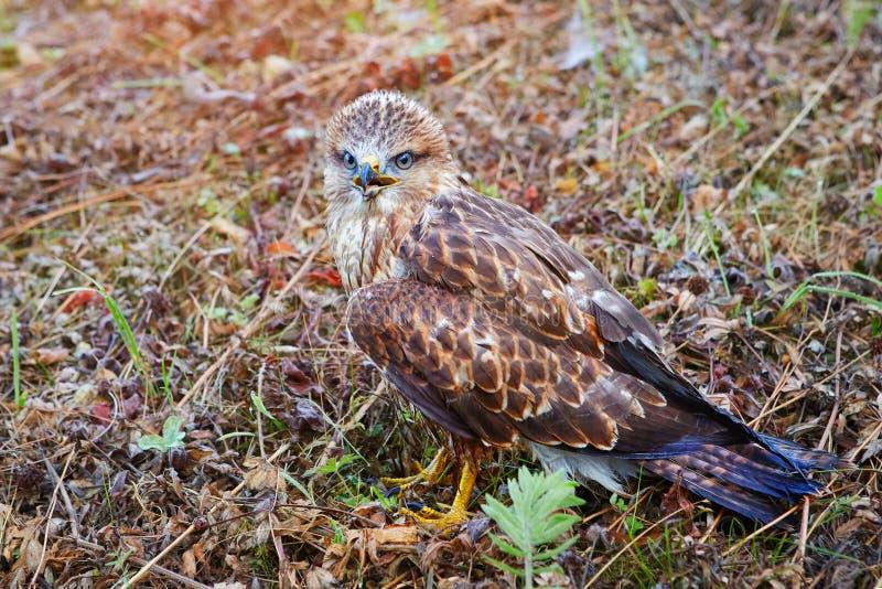 Afsluitend portret van een vogel van prooiennestling in zijn natuurlijke habitat, beschermende kleuring van de vogel met camouflag stock afbeeldingen