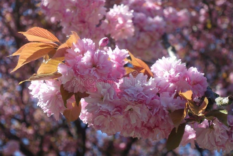 Afsluitend roze kersenbloesem in het voorjaar van de bloementeelt in Vancouver Canada stock afbeeldingen