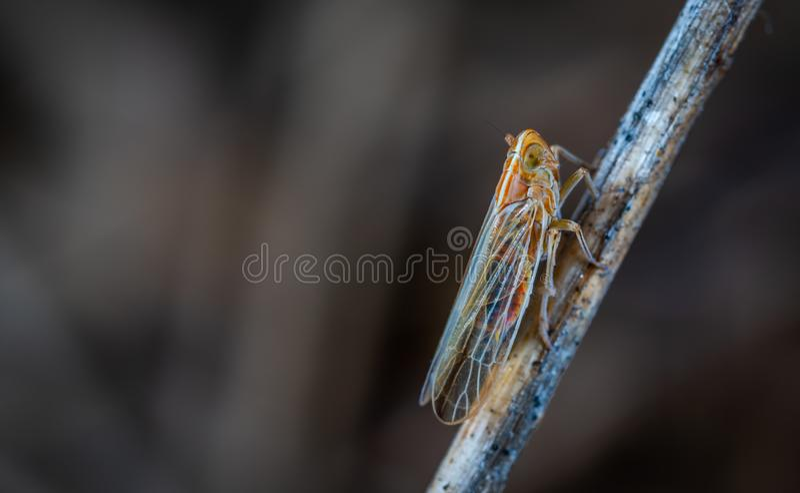 Afsluiting Foto van Brown en Gray Cicada op Twig stock afbeelding