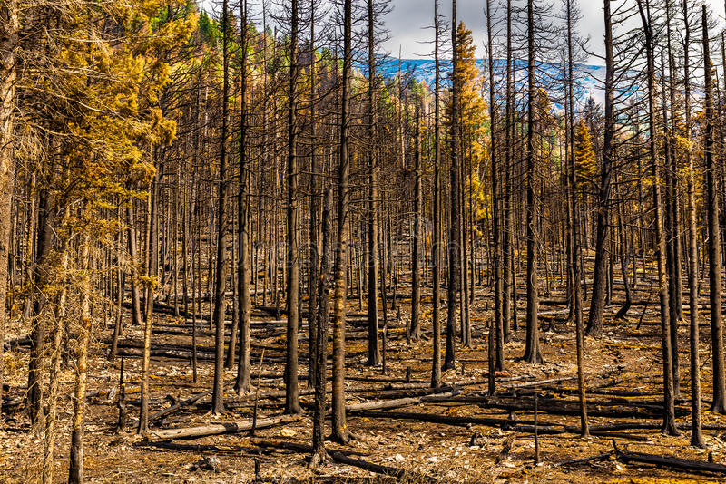 Aftermath 2015 Reynolds Creek Wildland Forest Fire Glacier National Park. Along Going to the Sun Road royalty free stock images