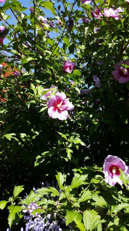Afternnoon soleado de Violet Hibiscus fotos de archivo