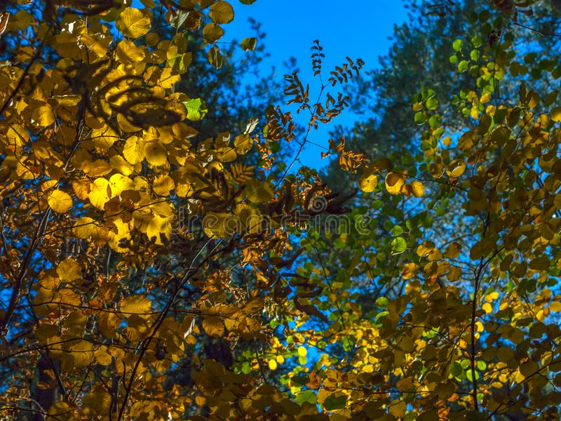 An Afternoon In The Autumn Forest. Looking Up The Crown Of Green, Yellow, Golden Leaves With Sunny Highlights. Autumn Colors. Change Of Seasons Concept royalty free stock photography