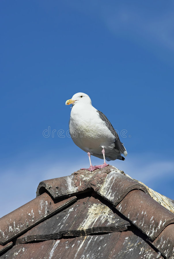 Free Afternoon Gull Stock Photos - 1705783