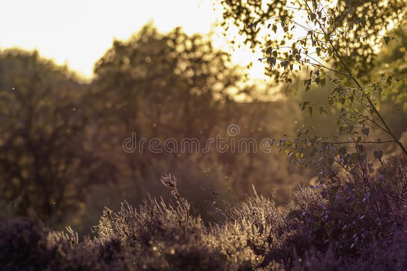 Afternoon light on forest meadow in early autumn royalty free stock image