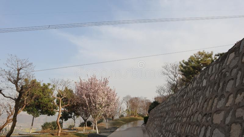 Cherry blossom trail in blue sky royalty free stock image