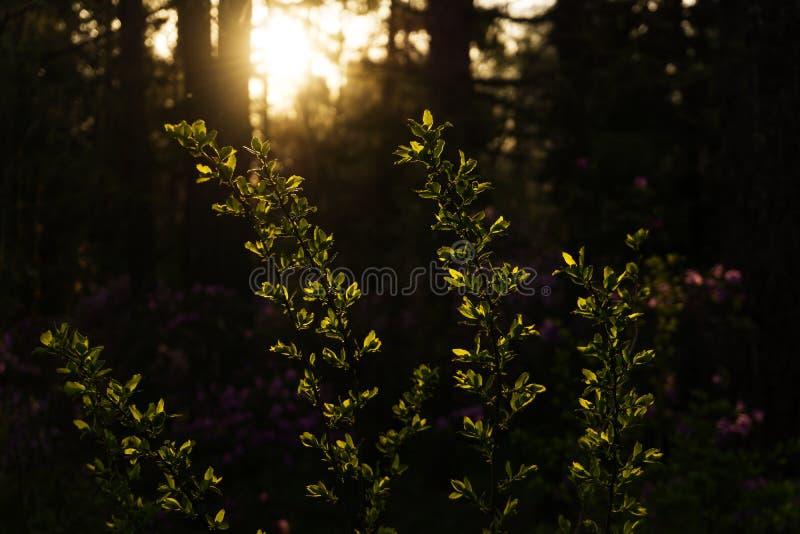 Afton för vårskogen royaltyfria foton