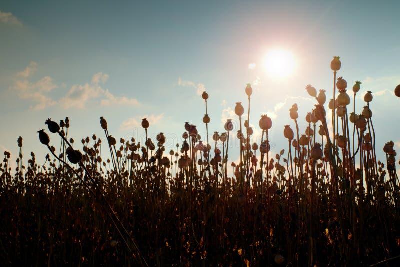 Aftonfält av vallmohuvud Torka blommor i fältet, varm sol i bakgrund arkivfoton