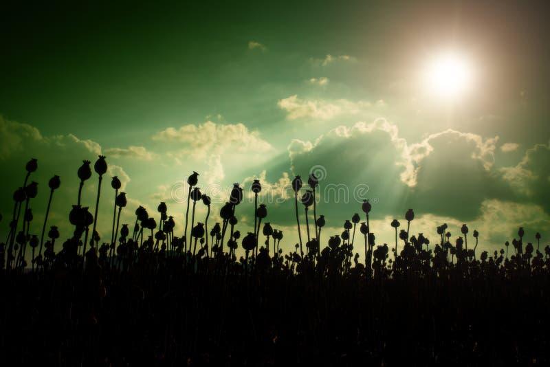 Aftonfältet av vallmo heads, solnedgången över Torra blommor väntar plockningen fotografering för bildbyråer